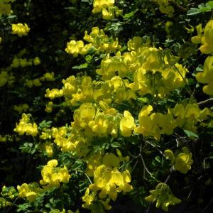 Oestlicher Strauch Hufeisenklee Bluete gelb Hippocrepis emerus 01
