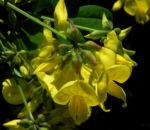 Oestlicher Strauch Hufeisenklee Bluete gelb Hippocrepis emerus 04