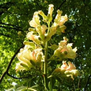 Bild: Ohio Rosskastanie Blüte hell gelblich   Äsculus glabra