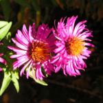 Oktober Margarite Bluete pink Leucanthemella maximum 02