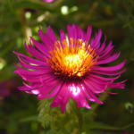 Oktober Margarite Bluete pink Leucanthemella maximum 10