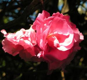 Oleander Strauch Bluete pink gefuellt Nerium oleander 01