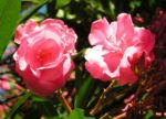 Oleander Strauch Bluete pink gefuellt Nerium oleander 02