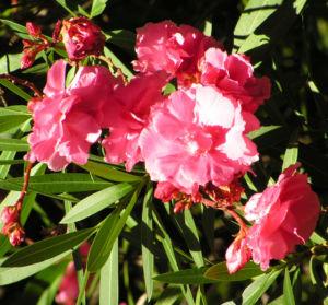 Oleander Strauch Bluete pink gefuellt Nerium oleander 03