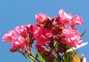 Oleander Strauch Bluete pink gefuellt Nerium oleander 04