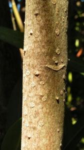 Oleander Strauch Bluete pink gefuellt Nerium oleander 05