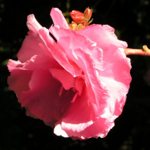 Oleander Strauch Bluete pink gefuellt Nerium oleander 06