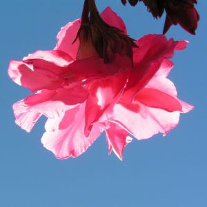 Oleander Strauch Bluete pink gefuellt Nerium oleander 07