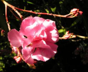 Oleander Strauch Bluete pink gefuellt Nerium oleander 09