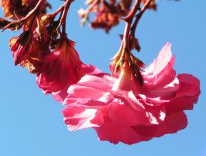 Oleander Strauch Bluete pink gefuellt Nerium oleander 10