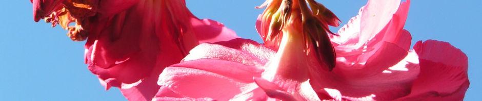 oleander-strauch-bluete-pink-gefuellt-nerium-oleander