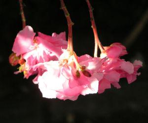 Oleander Strauch Bluete pink gefuellt Nerium oleander 12