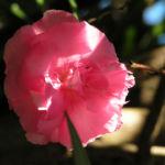 Oleander Strauch Bluete pink gefuellt Nerium oleander 13