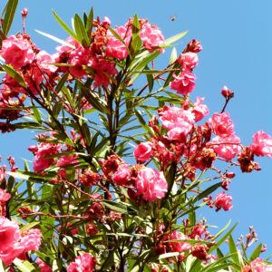Oleander Strauch Bluete pink gefuellt Nerium oleander 15