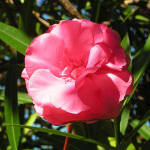 Oleander Strauch Bluete pink gefuellt Nerium oleander 16