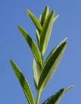 Olymp Johanniskraut Blatt gruen Hypericum olympicum 03
