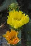 Opuntie Bluete gelb orange Opuntia ficus indica 13