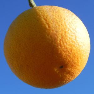 Orange Baum Blüte weiß Frucht Orange Citrus × Aurantium 03