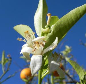 Orange Baum Blüte weiß Frucht Orange Citrus × Aurantium 06