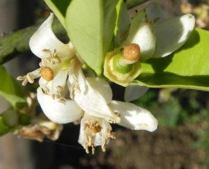 Orange Baum Blüte weiß Frucht Orange Citrus × Aurantium 07