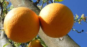 Orange Baum Blüte weiß Frucht Orange Citrus × Aurantium 08