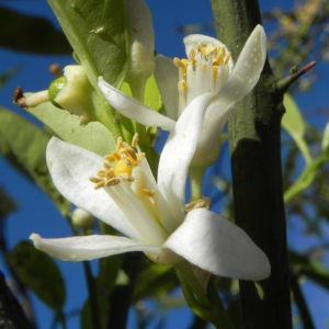 Orange Baum Blüte weiß Frucht Orange Citrus × Aurantium 14