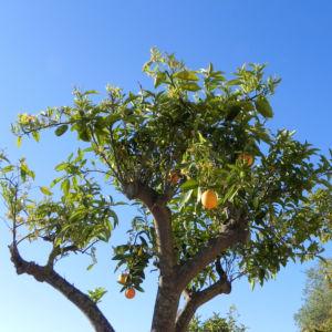 Orange Baum Blüte weiß Frucht Orange Citrus × Aurantium 15