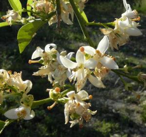 Orange Baum Blüte weiß Frucht Orange Citrus × Aurantium 16