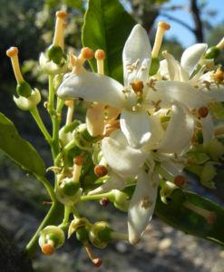 Orange Baum Blüte weiß Frucht Orange Citrus × Aurantium 17