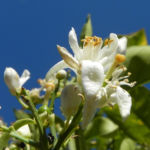 Bild: Orangenbaum Blüte weiß Frucht orange Rinde silber Citrus x aurantium
