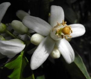 Orange Bluete weiß rosa Citrus sinensis 05