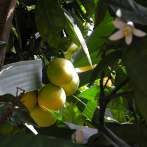 Orange Bluete weiß rosa Citrus sinensis 07