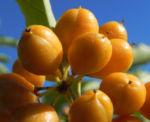Bild: Orangen-Klebsame Frucht orange Pittosporum undulatum