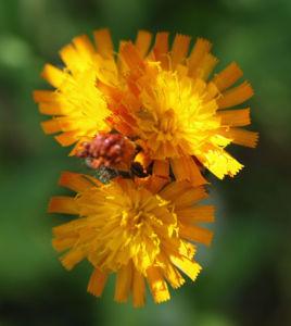 Orangerotes Habichstkraut Bluete orange Hieracium aurantiacum 01
