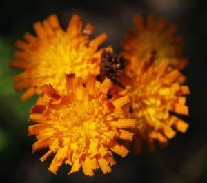 Orangerotes Habichstkraut Bluete orange Hieracium aurantiacum 02