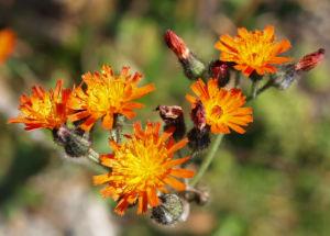 Orangerotes Habichstkraut Bluete orange Hieracium aurantiacum 03
