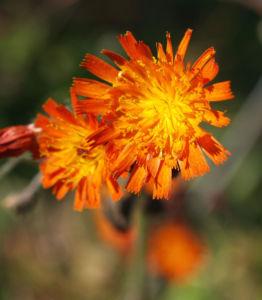 Orangerotes Habichstkraut Bluete orange Hieracium aurantiacum 05