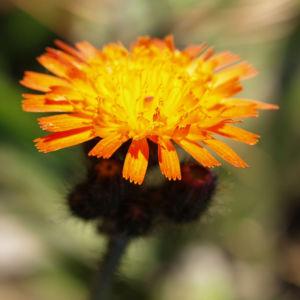 Orangerotes Habichstkraut Bluete orange Hieracium aurantiacum 06