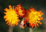 Orangerotes Habichstkraut Bluete orange Hieracium aurantiacum 07