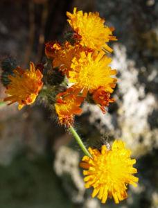 Orangerotes Habichstkraut Bluete orange Hieracium aurantiacum 09