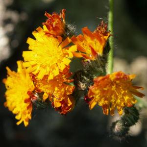 Orangerotes Habichstkraut Bluete orange Hieracium aurantiacum 10