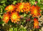 Orangerotes Habichtskraut Bluete orange Hieracium aurantiacum 01