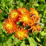 Orangerotes Habichtskraut Bluete orange Hieracium aurantiacum 04