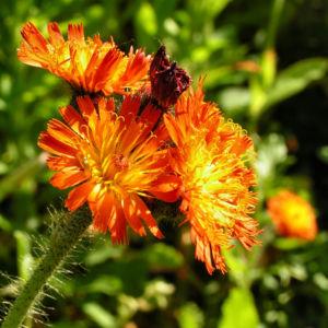 Orangerotes Habichtskraut Bluete orange Hieracium aurantiacum 05