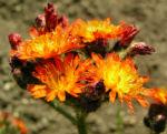 Bild: Orangerotes Habichtskraut Blüte orange Hieracium aurantiacum