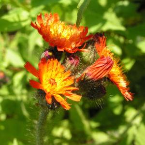 Orangerotes Habichtskraut Bluete orange Hieracium aurantiacum 08