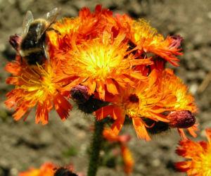 Orangerotes Habichtskraut Bluete orange Hieracium aurantiacum 10