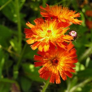 Orangerotes Habichtskraut Bluete orange Hieracium aurantiacum 11
