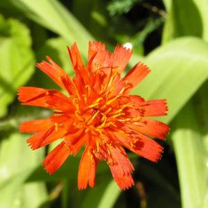 Orangerotes Habichtskraut Bluete Hieracium aurantiacum 02