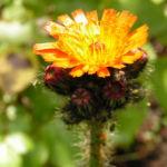 Orangerotes Habichtskraut Bluete Hieracium aurantiacum 03